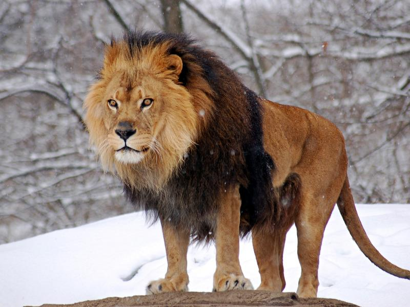 aslan-resmi-25-erkek-1287618619-800x600
