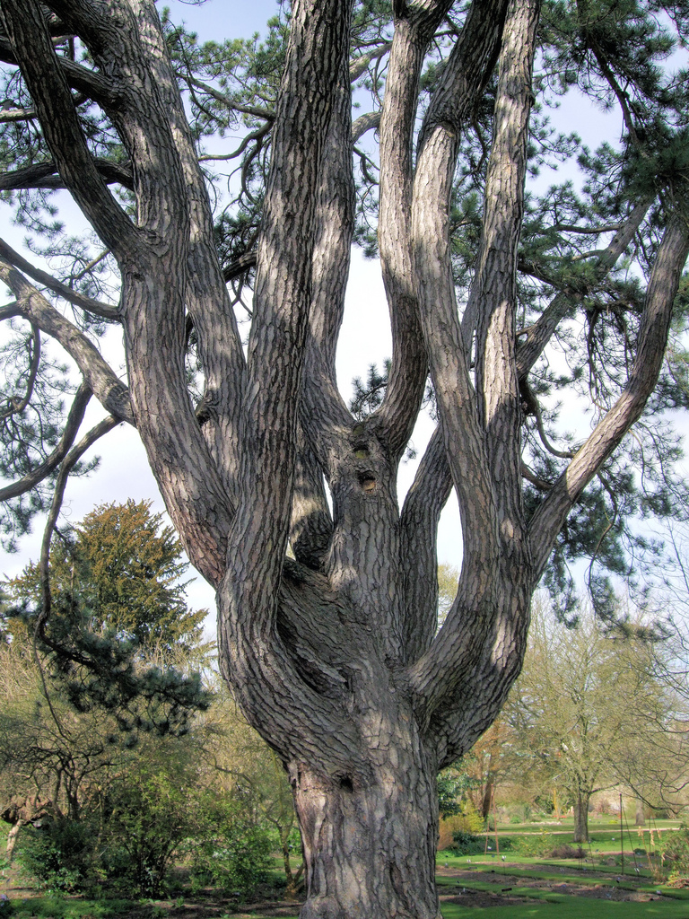 Tolkiens-favourite-tree-pinus-nigra